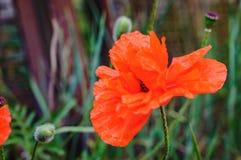 大精采红色鸦片花在庭院里 库存照片