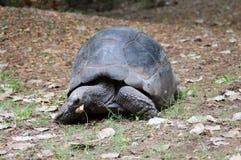 大繁忙的土地乌龟 免版税库存图片