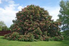 大红色七叶树& x28; 七页树属x carnea & x27; Briotii& x27; & x29;树 库存照片