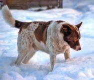 大红色和白色纯血统狗 免版税库存照片