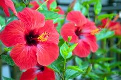 大红色木槿花 免版税库存照片