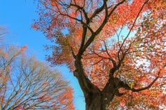 大红色树有蓝天背景 库存图片