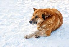 大红色狗在雪放置 库存照片