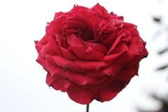 大红色玫瑰关闭自然backgound 免版税库存图片