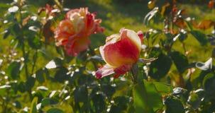 大红色玫瑰rosegarden 玫瑰在早期的秋天,死的第一个标志于自然 股票视频