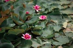 大红色百合花卉生长在狂放的湖 库存图片