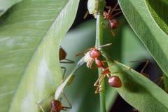 大红色蚂蚁 库存照片