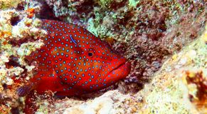 大红色鱼在红海 图库摄影