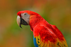 大红色鹦鹉猩红色金刚鹦鹉, Ara澳门,鸟坐分支,哥斯达黎加 从热带森林自然的野生生物场面 美好的p 免版税库存图片