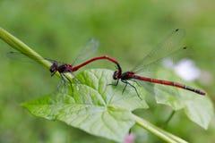 大红色蜻蜓, Pyrrhosoma nymphula、男性和女性系动词 库存照片