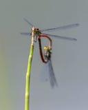 大红色蜻蜓系动词夫妇  免版税库存图片