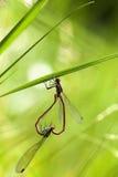 大红色蜻蜓-联接 库存照片