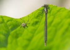 大红色蜻蜓(Pyrrhosoma nymphula)与exuvium 免版税库存图片