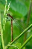 大红色蜻蜓(Pyrrhosoma nymphula)休息 免版税库存照片