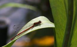 大红色Damsefly (男性) – Pyrrhosoma nymphula 免版税图库摄影