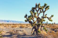 大约书亚树在莫哈韦沙漠Deserte,加利福尼亚,美国 免版税图库摄影