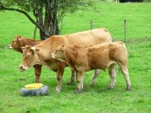 大约Morvan,法国的利姆辛母牛 免版税库存图片