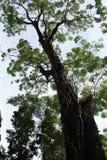 大结构树。 免版税图库摄影