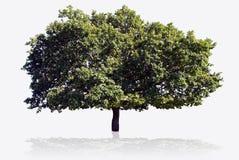 大结构树 免版税库存图片