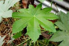 大绿色叶子从地面 免版税库存图片