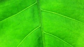 大绿色叶子工厂 免版税库存照片