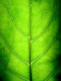 大绿色叶子 图库摄影