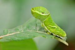 大绿色毛虫(Papilio dehaanii)在叶子 免版税库存照片