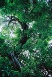 大绿色结构树 库存照片