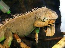 大绿色鬣鳞蜥 库存图片