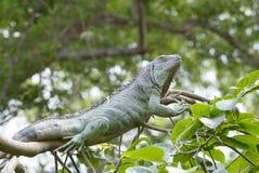 大绿色鬣鳞蜥 库存照片