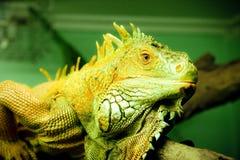 大绿色鬣鳞蜥 免版税库存照片