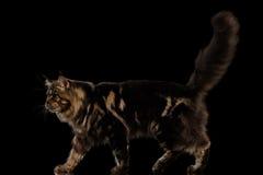 大缅因树狸猫步行,毛茸的尾巴,被隔绝的黑背景 免版税图库摄影