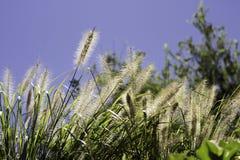 大网茅草在一个热的晴天 免版税库存图片