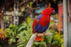 大美丽的五颜六色的鹦鹉 库存图片