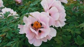 大美丽的桃红色牡丹在公园 股票视频