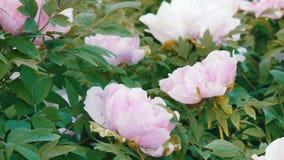 大美丽的桃红色牡丹在公园 股票录像