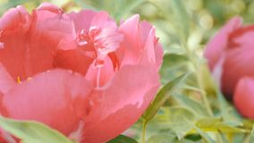 大美丽的桃红色牡丹结束看法 股票录像