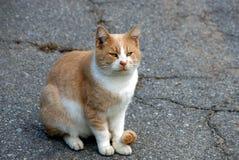 大美丽的猫坐灰色沥青 免版税库存图片