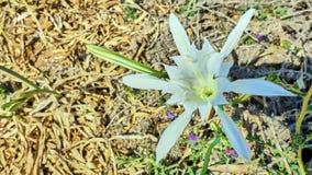 大美丽的白花 库存图片