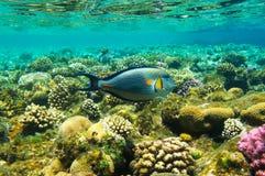 大美丽的鱼 免版税库存照片