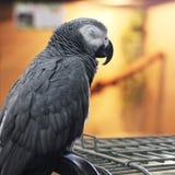 大美丽的鹦鹉坐笼子 库存照片