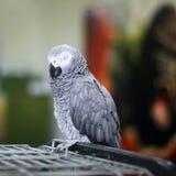 大美丽的鹦鹉坐笼子 免版税库存图片