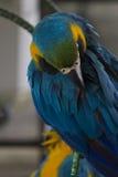 大美丽的鹦鹉 库存照片