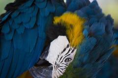 大美丽的鹦鹉 库存图片