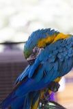 大美丽的鹦鹉 免版税库存照片