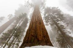 大美国加州红杉在雪和雾上升 免版税库存图片