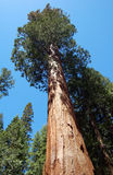 大美国加州红杉树agains蓝天 图库摄影