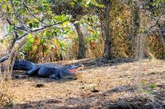 大美国短吻鳄嘴开放在沼泽地 免版税库存图片