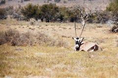 大羚羊休息在领域的-野生生物公园 库存图片
