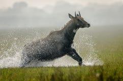 大羚羊和水滴下(亦称蓝牛羚) 库存照片